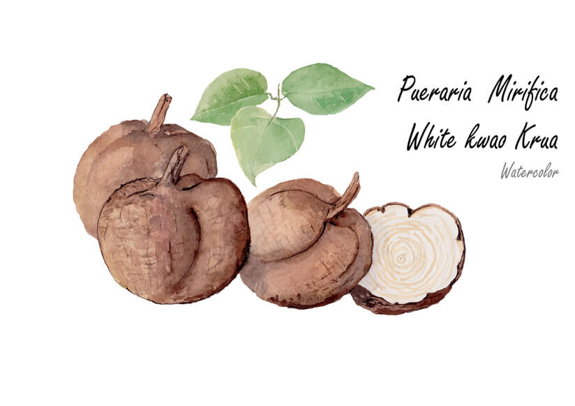 pueraria mirifica or white krua kwao. Hand drawn watercolor painting .Vector illustration