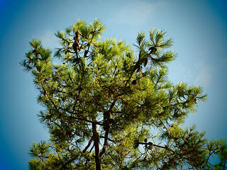 von Christopher Shervey from Tewkesbury, UK (Pines at Ile De Re) [CC BY 2.0 (http://creativecommons.org/licenses/by/2.0)], via Wikimedia Commons